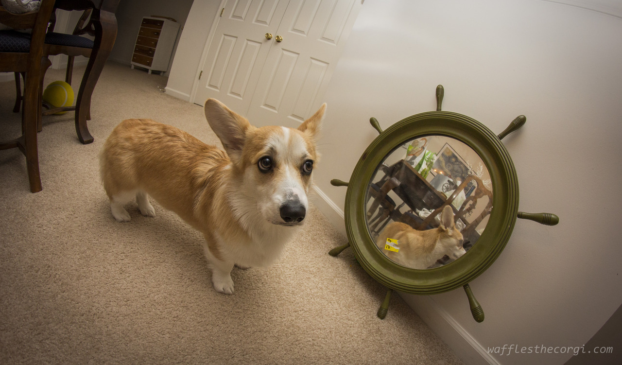 wafflesthecorgi:  Mirror mirror on the wall, who's the stumpiest of them all????