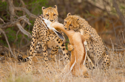 emuwren:  Cheetah youngster making her 1st kill.