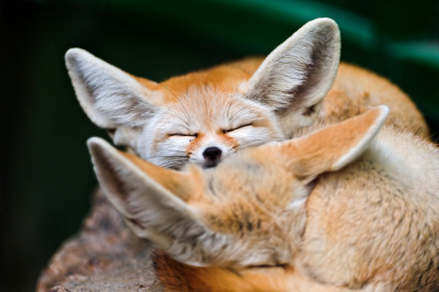 theanimalblog:  Sleeping fennecs (by Tambako the Jaguar)