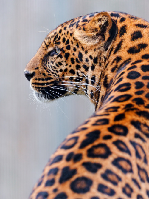 Leopard from behind (by Tambako the Jaguar)