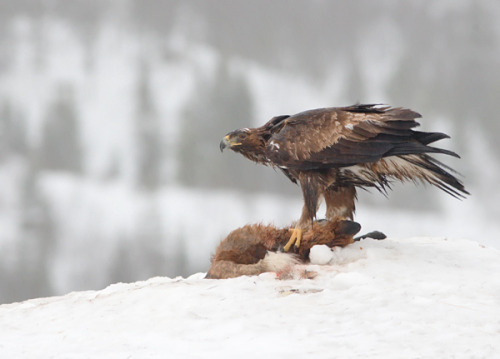 puque:  Golden Eagle & Fox by Aidan Finn on Flickr.