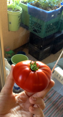 (queue Superman movie theme) It's Super Tomato!   Well, it's the biggest yet and pretty impressive considering it was grown in plastic container on my deck. Yes, I'm a dork:  I find all this gardening-on-my-deck stuff terribly exciting.