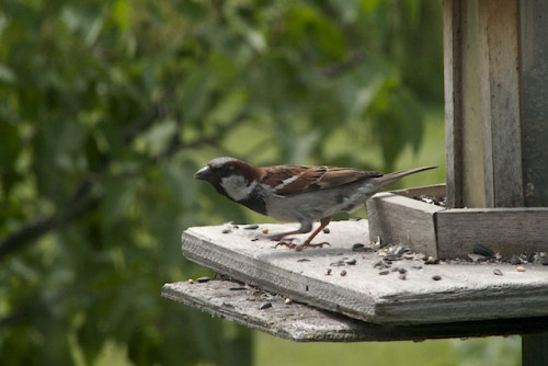 More House Sparrows(Passer domesticus) including a Juvenile.