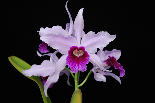 somewhereinthisuniverse:  Laelia purpurata by salabat on Flickr.