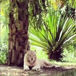 White tigers~ #safarimarinepark #ipadnesia #instapad #bali #vocation #natural #tigers (Taken with Instagram)