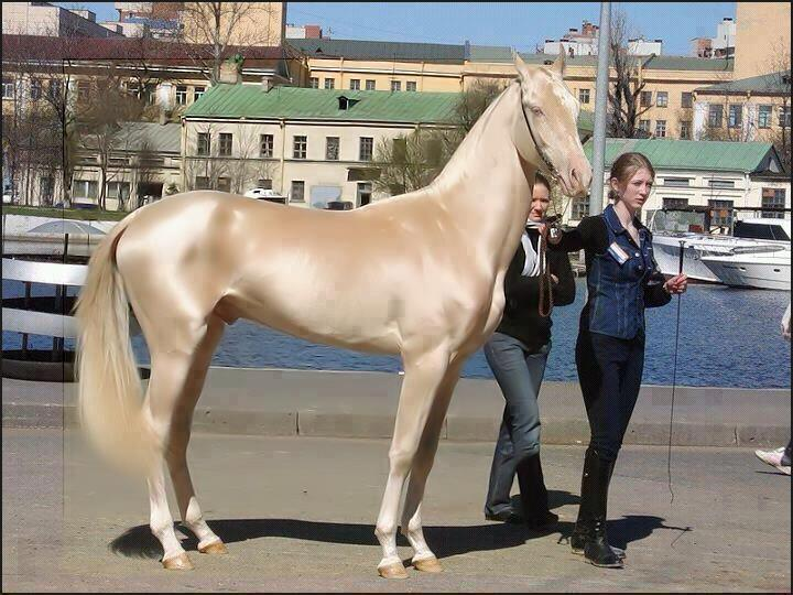 mastahaze:  This is the most beautiful horse in the world… From Turkey  shit son this horse is like SPUN GOLD