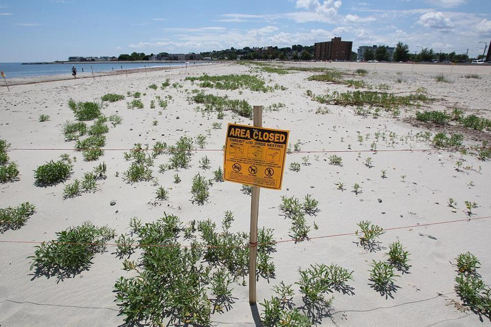 As piping plovers rebound, more of Revere Beach is off limits  Eighteen piping plovers have commandeered some 500 feet of Revere Beach, an encouraging sign for the birds' champions but an annoyance for others. (SUZANNE KREITER/GLOBE STAFF)