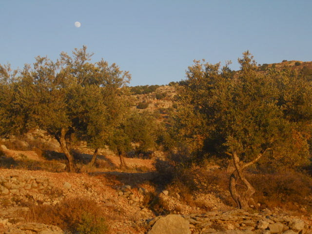 Nearly full moon at sunset above an ancient olive grove in Ramallah, Palestine