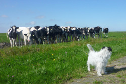 My dog Gijs and 15 curious cows, wonder what they are thinking…