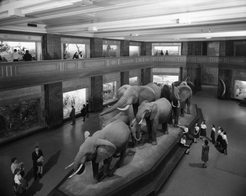 From the archives: Visitors tour the Akeley Hall of African Mammals, 1962.    Explore all the photos from the Picturing the Museum collection here: http://bit.ly/l8nOsp    © AMNH Library/Image #328663