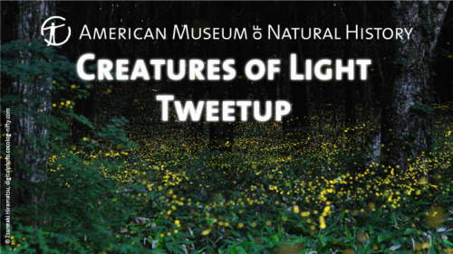 amnhnyc:  Join us as we celebrate the annual return of flashing fireflies to Theodore Roosevelt Park, which surrounds the Museum, at the Creatures of Light Tweetup on Tuesday, July 10! The Museum's Tumblr followers are invited to explore the current exhibition Creatures of Light: Nature's Bioluminescence after hours and enjoy a beer and wine reception. Discover the many creatures that blink, glow, flash, and glitter, and find out why they do it. Learn how fireflies use light signals to communicate, walk through an interactive re-creation of a bioluminescent bay in Puerto Rico, see dramatic models of glowing deep-sea creatures, and more. Around 8:30 pm, weather permitting, we'll head outside to observe live fireflies in the park surrounding the Museum. The Creatures of Light Tweetup will be held at the American Museum of Natural History on Tuesday, July 10. Please RSVP (link coming soon) - we'll send you a confirmation email with all the details.