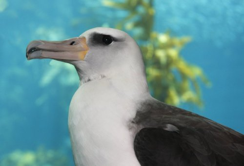 Have you met Makana, our beautiful Laysan albatross? You can! Check out this great video and blog from the Humane Society during a recent visit.  Learn more about Makana and plastics in our oceans.