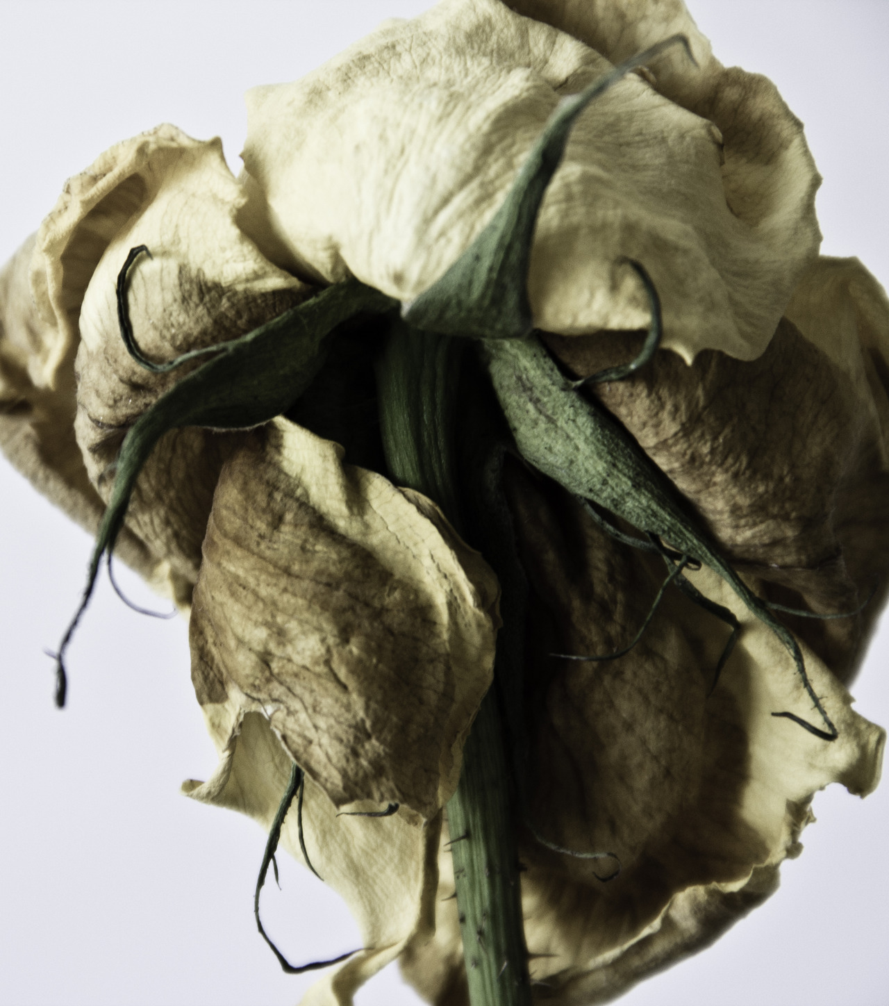Dried rose - Tássia B.