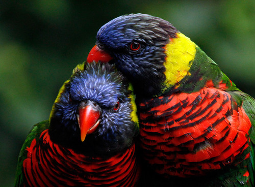 theanimalblog:  Portland, Oregon, US: Colourful lorikeets preen each other at the Oregon zoo.  Photograph: Don Ryan/AP