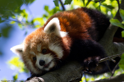 id-rather-be-free:  Red Panda (by Juggler Jim)
