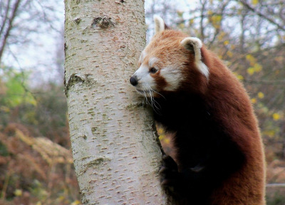 id-rather-be-free:  Red Panda (by Carnivore Kez)