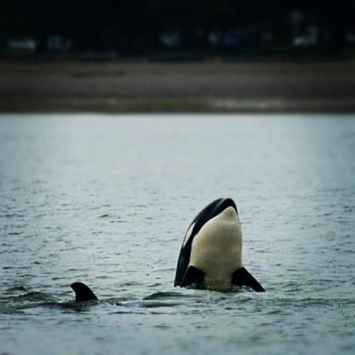 #Orcas spotted off Jericho Beach! http://ow.ly/bZLcZ (Taken with Instagram at Jericho Beach)