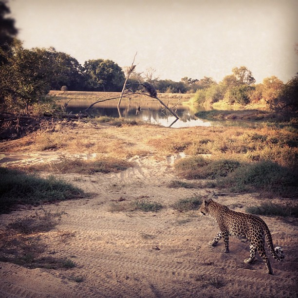 Nice kitty  (Taken with Instagram at Londolozi Game Reserve)