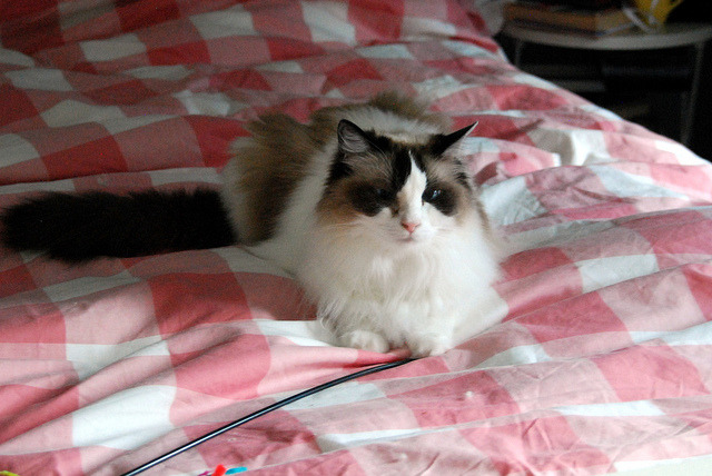 Emma by Pacificat Ragdolls on Flickr.
