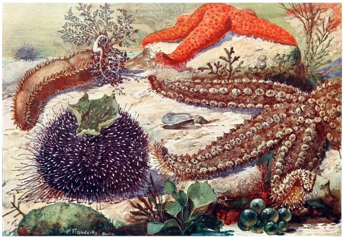 oldbookillustrations:  Sea cucumber, Sea urchin, Starfish. Paul Flanderky, from Brehms Tierleben (Brehm's animal life) first volume, under the direction of Alfred Edmund Brehm, Leipzig & Vienna, 1918. (Source: archive.org)