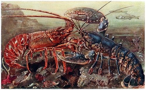 oldbookillustrations:  spiny and clawed lobster. Paul Flanderky, from Brehms Tierleben (Brehm's animal life) first volume, under the direction of Alfred Edmund Brehm, Leipzig & Vienna, 1918. (Source: archive.org)