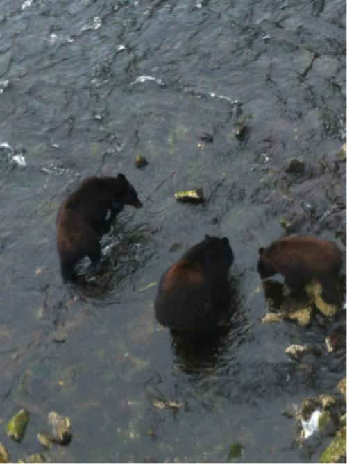 allisonn9ne:  We saw bears. They kept following us. I have about 100 pictures of this experience.  I know these bears! Had them in my yard just the other day.