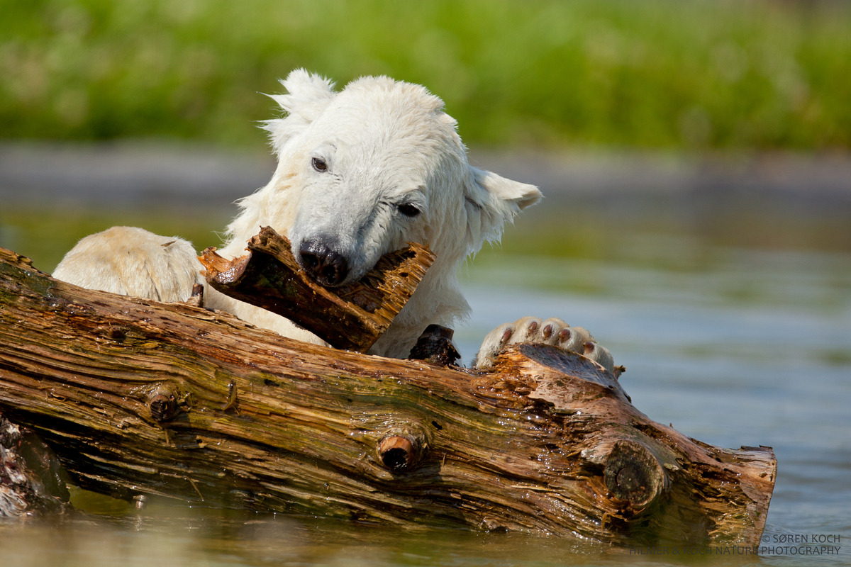 What is a polar bear's life span? In human terms, not very long. In the wild, polar bears live an average 15 to 18 years, although biologists have tagged a few bears in their early 30's. In captivity, they may live until their mid-to-late 30's. Debby, a zoo bear in Canada, lived to be 42. — Guest post by Polar Bears International