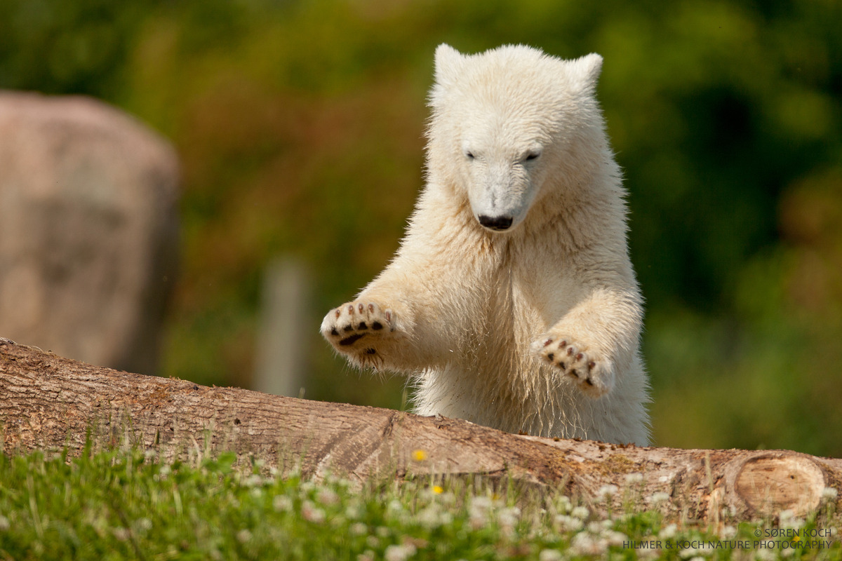 How do polar bears survive in an arctic environment? They're built for it! Polar bears love the Arctic climate, where winter temperatures can plunge to -45º C (-50º F). Polar bears are insulated by two layers of fur that help keep them warm. They also have a thick fat layer. In addition, their compact ears and small tail also prevent heat loss. In fact, polar bears have more problems with overheating than they do from the cold —especially when they run. Polar bear feet are furred and covered with small bumps called papillae to keep them from slipping on ice. Their sense of smell is powerful for detecting seals. And their powerful claws can haul out a 40-90 kg (150-200 lb) seal from the water for dinner. — Guest post by Polar Bears International