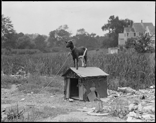 Goat on a dog house.  The goat thinks that he is Snoopy.