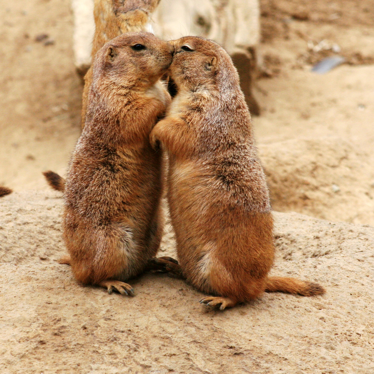 "Prairie dogs sometimes ""kiss,"" as seen above. They only do so within their own families, though.  (Image source)"
