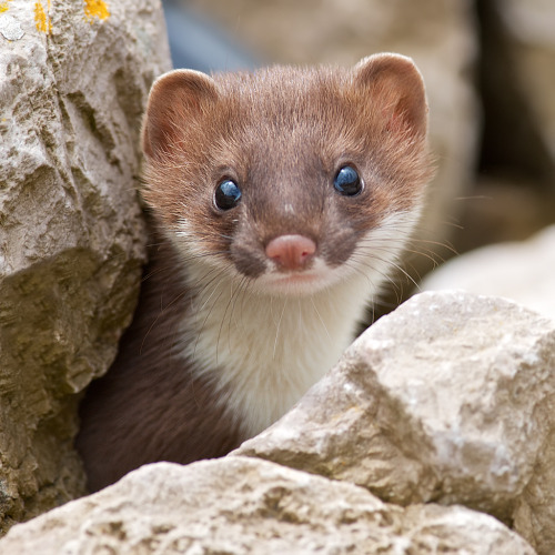 llbwwb:  a fine way to say goodbye.Stoat  (by black fox wildlife photography)