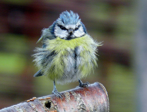 llbwwb:  blue tit (by ivorrichardk)