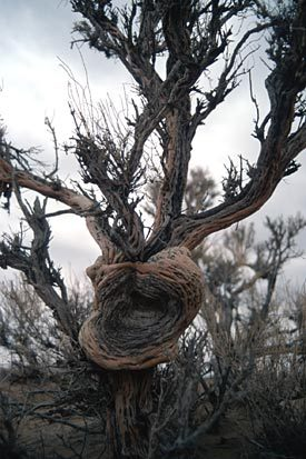 Saxaul is the only tree that grows in the Mongolian Gobi desert, and the wood is so dense and hard it does not float in water. Not Mongolian, but funny history anyway: in 1851, Vasily Perovsky ordered the commander of Fort Aralsk to collect as much saxaul as possible to burn to power Russian imperial steamships. Unfortunately for the Imperial Navy, saxaul is crooked and lumpy and was impossible to stack in large quantities in steamships or fit into boilers. The imperial navy had to ship coal by caravan instead, which was so expensive they got rid of a bunch of the ships.