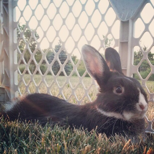#bunny #rabbit #netherlanddwarf #dwarf #nethie #pet #animal (Taken with Instagram)