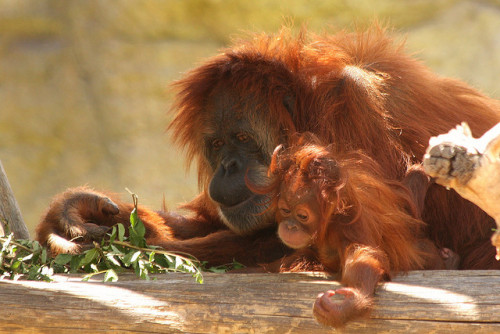 animals-animals-animals:  Orangutan Mother and Infant (by J. N. Stuart)