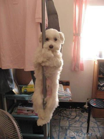 fuckyeahdementia:  The pole dancer dog