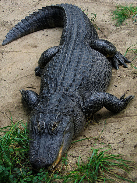 isankyourbattleship:  I want a pet alligator. Or a tattoo of an alligator.But I want a pet alligator to take on walks and such :/