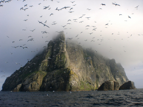 definitelydope:  Gannets above Boreray (by seaharris)