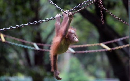 A five-month-old orangutan plays in its enclosure at Ragunan Zoo in Jakarta, Indonesia  Picture: Sinar Sakti Images / Barcroft Media