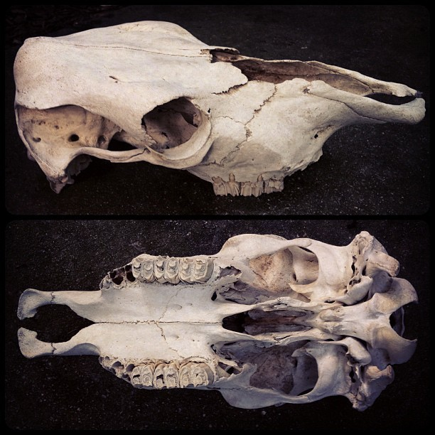 bone-lust:  One Of Two Cow Skulls Available In My Etsy Shop Now
