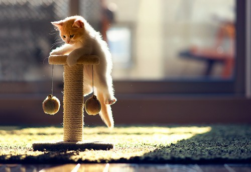 "thedailywhat:  Look At This Climbing Kitten of the Day: Amateur photographer Ben Torode's new kitten ""finally made it to the top of its scratching pole."" The rest of the gallery is equally killer. [reddit]"