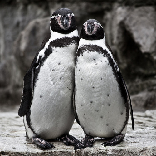 cute penguin couple - explored by Adam Foster | Codefor on Flickr.