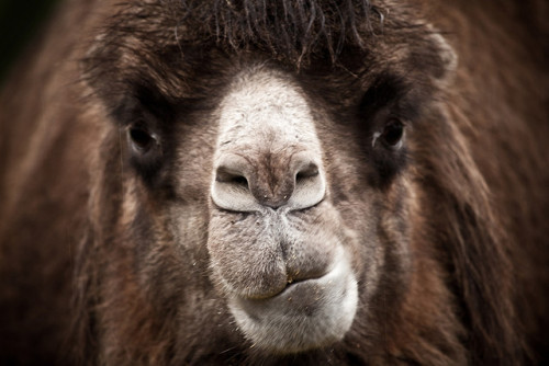 today I stared a camel in the face by Adam Foster | Codefor on Flickr.