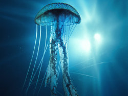 animalgazing:  Jellyfish?by ~peterdigiacomo