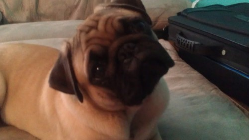 Please donate to Save Toby's Life. Toby is my 8 month old pug. Monday, he was a happy, perky pug who went to visit his brother and father (Who are both vaccinated) while I had to run some errands. He was exhausted when I picked him up, but I thought nothing of it because he always gets tired out when he visits the other pugs. That night, he got diarrhea. I thought nothing of it since I just changed his food on friday and maybe he was just having a stomach ache brought on by the change. Tuesday, He was sleepy, but he was drinking a little bit during the day. In the evening, we had a chicken roaster for dinner, and he wasn't even begging. This is unusual because he always likes to be up in our business when we're eating. We offered him a bit of potatos and chicken, but he turned away from it. I tried to get him to drink, but he vomitted it up. He was lethargic and sleepy.This morning, we had to borrow money off my uncle to take him to an emergency animal hospital, as it is 4th of July and no other vet was open today. After telling them the symptoms, they did a parvovirus test on him. He was positive. However, there is a survival rate of 70-90% with aggressive treatment. We love Toby, and after losing Max back in 2010, I don't think I can do this again. Please help me raise the funds to save my dog. Click this link here >Save Toby's Life< to donate any amount you'd like to my charity. Dollars raised will go toward Toby's hospital stay, treatment, and medication.