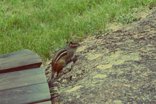 Well, I didn't meet any cats while I was away, but here's Ziggy my chipmunk friend. He acted like a cat most of the time anyway.