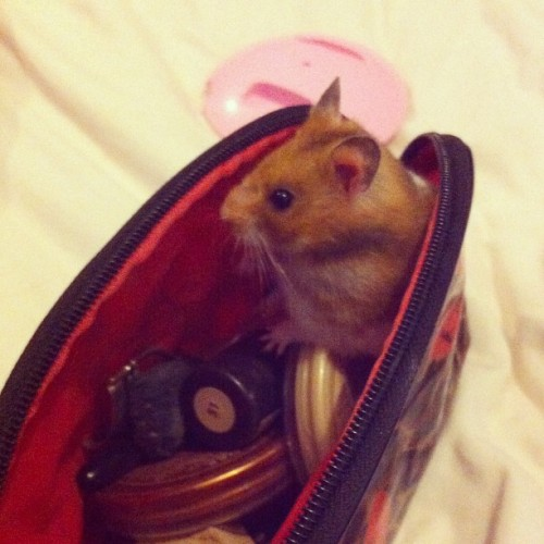 My hamster decided he wanted to sit in my makeup bag…. #hamster #makeup  (Taken with Instagram)
