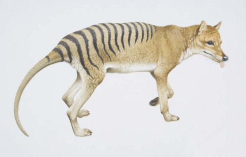 Extinct specie, the Tasmanian Tiger. they no longer exist, it's sad… they are really beautiful and strange…