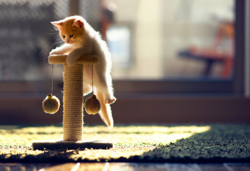 (via Our new kitten finally made it to the top of its scratching pole - Imgur)