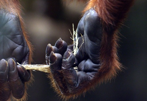 animals-animals-animals:  Red Howler Monkey (by Ronald Tibbs)   Weird how much this is like a human!